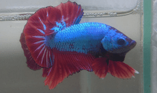 Peixe Betta 01