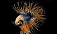 Peixe Betta 02